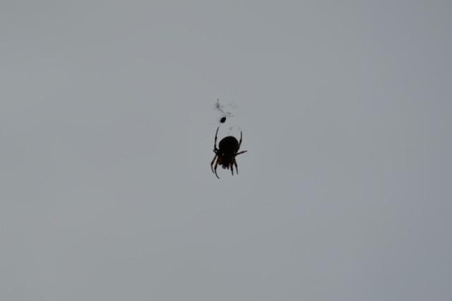 På tal om spindlar så mötte jag det här bamsiga exemplaret för några dagar sedan.