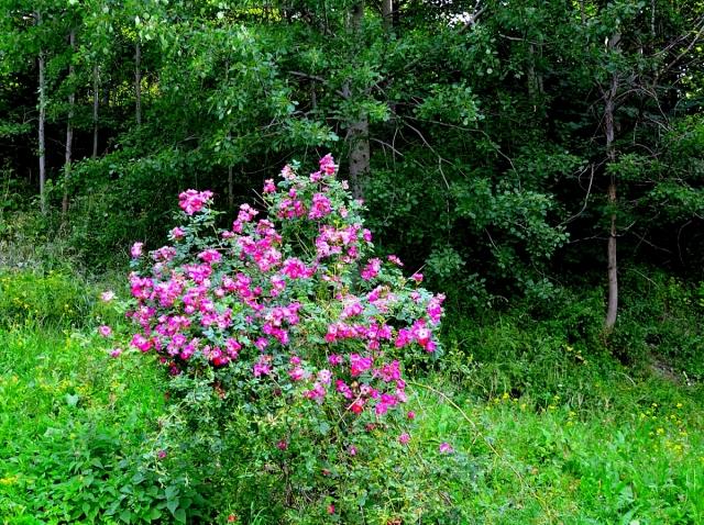 När det går mot höst, låt oss minnas en sommardag med blommande nypon - låt oss gå närmare ...