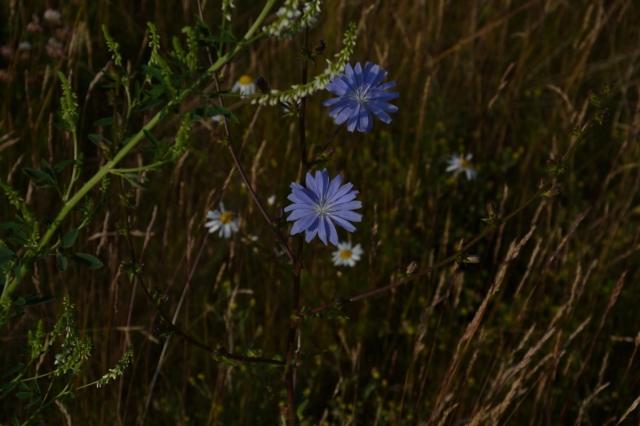 De här blå blommorna fotograferade jag 7-8 juli. Vackra, javisst, men även ur någras synpunkt nyttiga.