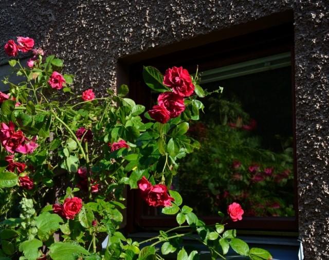 Rosor speglade i ett fönster ger dunkla mönster