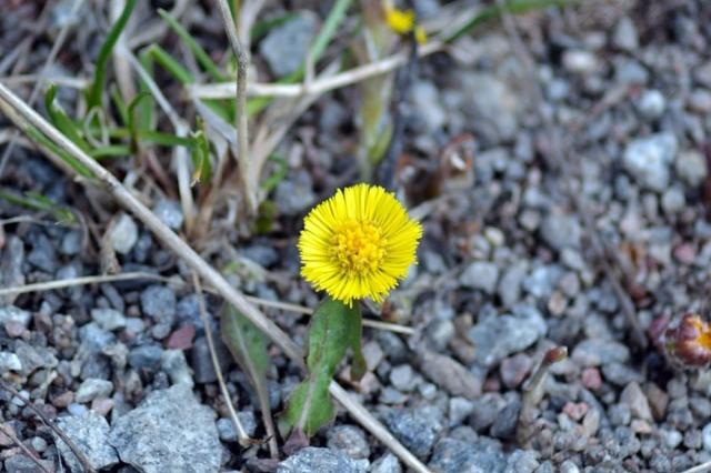 När vi ändå är inne i botaniken: ny och fräsch tussilago från Årstafältet.