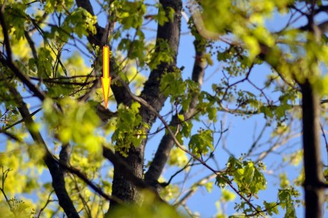 Igår hörde jag första lövsångaren för året, och skymtade den när den flög runt bland de färska gröna bladen i Årsta skog. Försökte ta en bild, men då försvann den just när jag tryckte av ... eller gjorde den det? Nej, inte riktigt, vid pilen finns den! (Ursäkta tramset, men det blir så när lövsångaren kommer, då vet man att försommaren har börjat!)