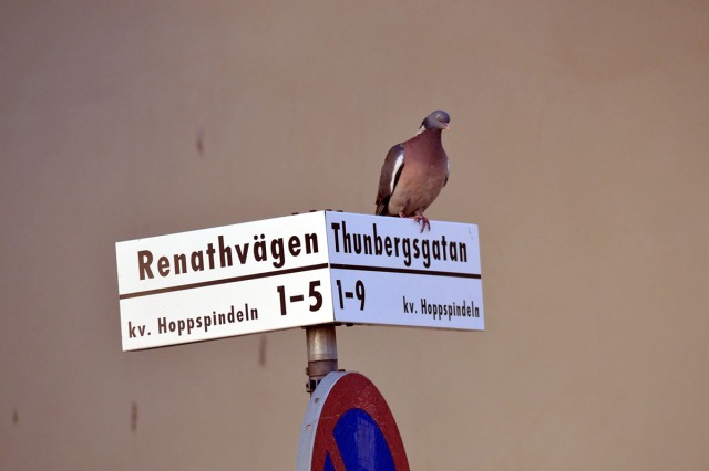 Hej, jag är ringduva och bor i Hammarbyhöjden. Här är gatorna uppkallade efter svenska forskningsresande och vetenskapare.