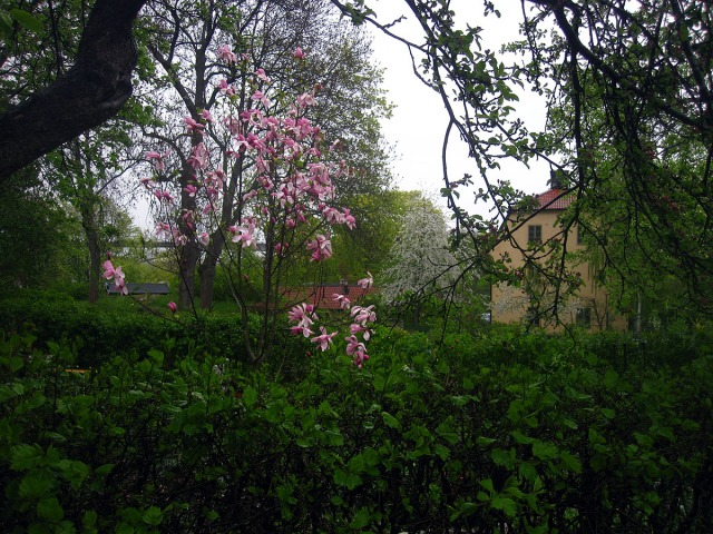 botanik magnolia långholmen