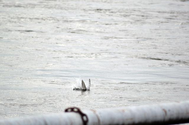 En fisktärna på väg ner vid Slussen ...
