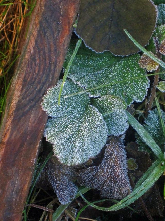 Smultronblad, prickade av frost.
