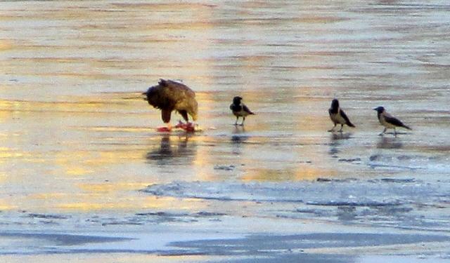 fåglar havsörn kråka reimersholme