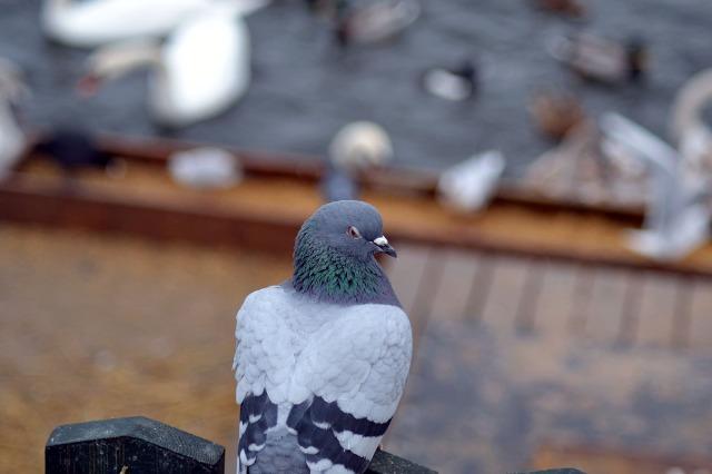 Lätt igenkänd: en vanlig stadsduva som tittar över axeln med lömsk blick ....