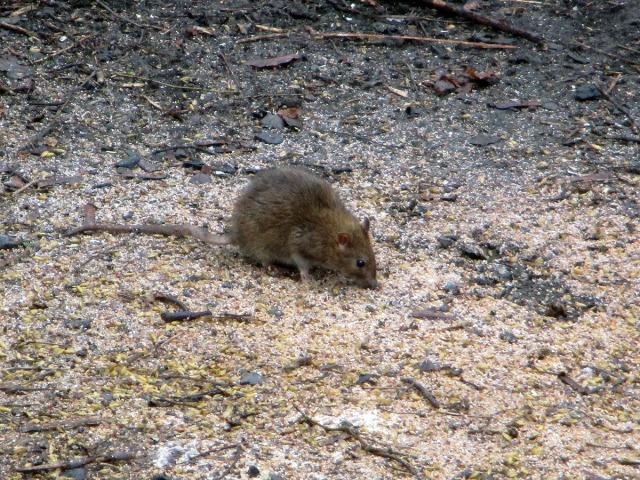 råtta münchensbacken